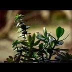 """amator_sliwek """"zielen maltanska"""" (2007-01-06 18:49:08) komentarzy: 7, ostatni: mnie sie podoba:))"""