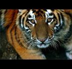 """Karolina Wengerek """"..."""" (2007-01-12 17:00:02) komentarzy: 55, ostatni: kolejne świetne """"tygrysie"""" zdjęcie :)"""