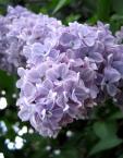 """paws """""""" (2007-01-19 10:55:42) komentarzy: 3, ostatni: Też czekam niecierpliwie na tak piękne kwiaty. Trochę bym przyciemnił i podkręcił lekko kolor (saturation). Pozdrawiam"""
