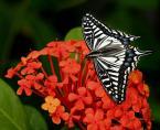 """Willie Sunday """"Papilio xutus"""" (2007-03-28 06:35:19) komentarzy: 30, ostatni: Piękn jest"""