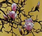 """atop """"Zakwitły magnolie!"""" (2007-04-03 21:28:23) komentarzy: 7, ostatni: mnie się widzi:)"""