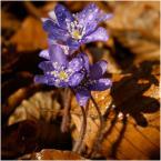 """M_A_R_E_K """"Hepatica nobilis"""" (2007-04-06 20:01:17) komentarzy: 8, ostatni: +"""
