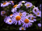 """amator_sliwek """"kwiaty"""" (2007-04-09 22:57:29) komentarzy: 9, ostatni: piękne..."""