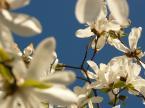 """karlosfz7 """"blue sky and white flowers"""" (2007-04-15 23:35:23) komentarzy: 4, ostatni: bardzo ładne... ma charakter... faworyt z portfolio... zdecydowanie !"""