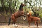 """dyzio1 """"ależ jesteś duuuży!"""" (2007-04-18 21:46:42) komentarzy: 6, ostatni: Fotografowanie koni, to trudna sprawa, ale Tobie udało się z tego wyjść cało :) Teraz możemy tylko domyślać się 'co się stało później'?"""