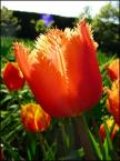 """nadja71 """"tulipan lambada"""" (2007-04-24 21:35:07) komentarzy: 6, ostatni: Nadio :) strzał po dslonce w tym kadrze chyba nie byl najszczesciwszy ??:) troche nie ostre, flara, i spalona gora :("""