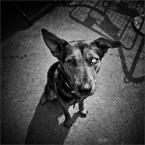 """MonikaMM """"blue eyed dog"""" (2007-04-30 18:14:17) komentarzy: 62, ostatni: :) uwielbiasz oczy . i pieknie Ci one wychodzą. w każdym wydaniu:)"""