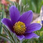 """HEJA """"Z ogródka..."""" (2007-05-03 22:24:46) komentarzy: 14, ostatni: HEJA > ja szukam cienia w tle, albo go robie. W zaleznosci od swiatla na kwiatku, tak ciemne tlo uzyskuje. Zobacz najnowsza wazke. Nie zrywam kwiatow i nie lapie owadow. Wszystkie moje fotki sa robione w naturze. Czasami tez lubie takie..."""