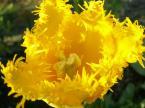"""emt emergency """"Tulipan strzępiasty"""" (2007-05-08 13:22:33) komentarzy: 3, ostatni: czy moderator ma jakis problem ze blokuje mi wiekszosc zdjec? czy nie odpowiada mu moja osoba bo to jest szczyt blokowac wszystkie kwiaty pomimo ze czesc z nich jest dorze oceniona."""