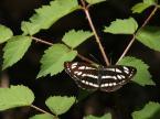 """Willie Sunday """"Neptis sappho..."""" (2007-05-16 07:08:07) komentarzy: 6, ostatni: Imponujący zbiór motyli,"""