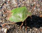 """zmija5 """"żuczek"""" (2007-05-19 22:47:51) komentarzy: 4, ostatni: makro super - a odorek zielony (zieleniak) - Palomena prasina - jak żywy :)"""