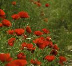 """Żaba-Ewa """"Makowe flamenco #4"""" (2007-05-23 16:18:17) komentarzy: 21, ostatni: seria z maczkami, prześliczna."""