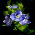 """koszmar69 """"Małe jest piękne... (Veronica chamaedrys - przetacznik ożankowy)"""" (2007-05-27 01:47:48) komentarzy: 31, ostatni: balsam dla moich oczu"""