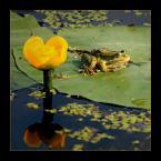 """Mieszko Pierwszy """"Wczasy pod gruszą?  (4)"""" (2007-06-12 14:18:10) komentarzy: 24, ostatni: wczasy pod grążelem żółtym, też bym tak chciał, kwiat ten ma bardzo aromatyczny przyjemny zapach, a jego łodyda może mieć nawet ponad metr długości, to tak na marginesie, a żabcia fajnie złapana, pozdrawiam"""