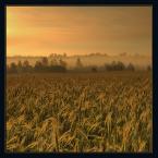 """silhouette """"fields of gold..."""" (2007-07-06 21:06:47) komentarzy: 27, ostatni: podoba mi się"""