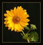 """ilcia """"żółty"""" (2007-07-21 17:50:39) komentarzy: 7, ostatni: ładne! :) +++"""