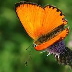 """algernon """"***"""" (2007-07-22 22:11:02) komentarzy: 5, ostatni: fajna ostrość, ładne nasycenie kolorami :) fakt przyciasny kadr, ale całokształt mi się podoba :)"""