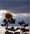 """arche """"słonecznik"""" (2007-07-25 21:24:14) komentarzy: 7, ostatni: podoba sie:) pzdr"""