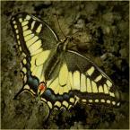 """koszmar69 """"Paź królowej (Papilio machaon)"""" (2007-07-29 00:10:11) komentarzy: 28, ostatni: Lubie motylki i ten też mi się podoba!!!!"""