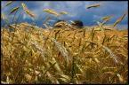 """timo """"a potem będzie chlebek:)"""" (2007-08-02 21:43:33) komentarzy: 12, ostatni: piękne, pozdrawiam :)"""