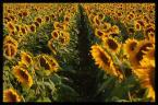 "vch22222 ""słoneczniki cd"" (2007-08-03 14:49:55) komentarzy: 15, ostatni: super fota!!!"