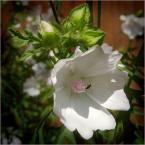 """koszmar69 """"Niewinnie"""" (2007-08-04 03:01:57) komentarzy: 5, ostatni: Czytam te komentarze i nie wiem, co myslec. Autor ma taka ilosc wspanialych, i co najwazniejsze, roznorodnie pokazanych kwiatow, ze byc moze tym razem chcial pokazac kwiat w pelnym sloncu, w naturalnym otoczeniu, wsrod lisci, czyli tak, jak on..."""