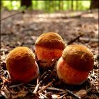 """Zazula """"Koalicja"""" (2007-08-15 23:08:48) komentarzy: 7, ostatni: jakie szatanki to super grzyb i smaczny a zowie sie borowik ceglastopory"""