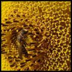"""biedrek """"złoty paśnik"""" (2007-09-04 12:33:42) komentarzy: 6, ostatni: ładna fotka ale owad się gubi w takim otoczeniu"""