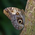 """Nepcior """"Sam sobie żaglem..."""" (2007-09-23 21:12:55) komentarzy: 12, ostatni: Brazylijski Caligo (Caligo brasiliensis) ładny. pozdrawiam"""