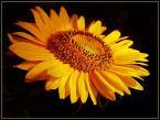 """Peggy Brown """"Sunflower"""" (2006-08-06 16:21:25) komentarzy: 11, ostatni: piękne:)"""