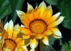 """Antoni Dziuban """"w ogrodzie"""" (2006-08-28 13:25:30) komentarzy: 20, ostatni: Mam te kwiaty w ogrodzie. Sa bardzo ciekawe, bo na noc sie zamykaja, otwieraja sie tylko w jasnym swietle slonecznym. Bdb."""