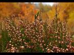 """Karczewski """"jesienny wrzos"""" (2007-10-30 15:20:19) komentarzy: 31, ostatni: A ja nie bardzo wiem na czym wzrok skupić. Według mnie - przeciętne. Pozdrawiam krajana."""