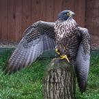 """HEJA """"Taaaakie mam skrzydełka..."""" (2007-11-01 21:25:02) komentarzy: 15, ostatni: jakby zapraszał ..;}}"""