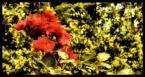 """MalyRobak """"dwie barwy"""" (2007-11-15 21:24:24) komentarzy: 0, ostatni:"""