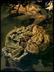 """Karczewski """"Poliandria ;) Bufo bufo (Linnaeus, 1758)"""" (2007-12-29 23:38:59) komentarzy: 10, ostatni: Dziękuję bardzo!!!! Pozdrawiam!"""