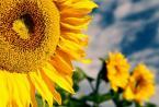 """brunonchrap """"sloneczniki"""" (2008-01-21 22:30:48) komentarzy: 2, ostatni: już niedługo...,już niedługo...idzie wiosna!!!pozd."""