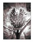 """nadja71 """"Bieluń"""" (2008-02-01 08:58:42) komentarzy: 4, ostatni: zimowa roslina"""