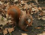 """robertzwanyjankiem """"kolega wiewióra ;)"""" (2008-03-02 19:34:42) komentarzy: 1, ostatni: Słabe"""