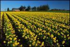 """robert37 """""""" ładne kwiatki """""""" (2008-03-06 19:51:07) komentarzy: 15, ostatni: Zanim otworzyłem na pełnym ekranie, pomyślałem o łanie rzepaku. Tu w Polsce jest tego w bród. Zastanawiałem się, czy w Irlandii też sieją i zbierają rzepak? A tu niespodzianka - to przecież kwiaty."""