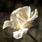 """Żaba-Ewa """"Róża"""" (2008-03-26 14:23:49) komentarzy: 11, ostatni: A i ja zapytam również, co to za /MOD/ ?"""