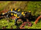 """Karczewski """"""""żyjąca w ogniu"""""""" (2008-05-07 22:45:08) komentarzy: 57, ostatni: piękna salamandra...dawno ich nie widziałam"""