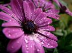 """agakolo """"rain daisy"""" (2008-07-14 19:05:13) komentarzy: 0, ostatni:"""