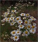"""krys_art """"Kwiaty polne"""" (2009-01-08 14:00:00) komentarzy: 19, ostatni: O, jak ich dużo i pięknie :)"""