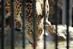"""J.80 """"tiger"""" (2008-07-20 23:44:48) komentarzy: 1, ostatni: Właśnie, gdyby nie te kratki to by było to. A tak to pamiątka z wycieczki do zoo."""