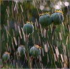 """krys_art """"Deszcz meteorów"""" (2008-07-24 11:30:28) komentarzy: 37, ostatni: makowa miłość u boku zazdrosnej  ...ale się przygląda ..jak z życia wzięte . Brawo .Ładne zdjęcie ."""