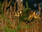 """lucyjka """"Paź królowej II"""" (2008-08-09 19:26:50) komentarzy: 8, ostatni: I mnie troszkę mało """"motylka w motylku"""". Czekam na drugą odsłonę i życzę dobrego odpoczynku :)"""
