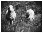 """Gundross """"Owiece"""" (2008-08-11 23:33:38) komentarzy: 5, ostatni: dobre jest;)"""