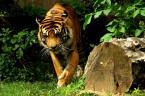 """szelaa """"Tiger"""" (2008-08-13 17:22:16) komentarzy: 2, ostatni: no niestety leniwe zwierzęta strasznie tego lata, bynajmniej w Wawie nie ma krat, w Gdańsku kraty i nie da się zrobić dobrej fotki pozdrawiam"""