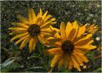 """krys_art """"Śłońca dwa"""" (2008-08-14 12:21:09) komentarzy: 12, ostatni: no piękne"""