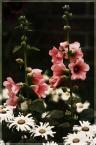 """sbms """"magia ogrodu 4"""" (2008-08-19 15:30:33) komentarzy: 3, ostatni: Podobają mi się kwiaty i kolorki"""